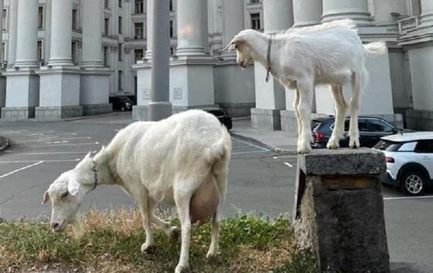 У Києві біля будівлі МЗС паслися кози