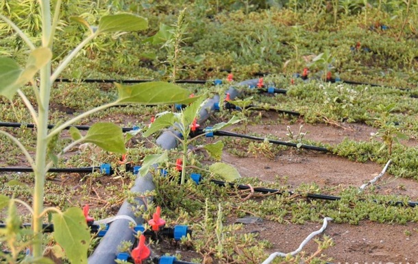 На Херсонщине обнаружили рекордный посев конопли