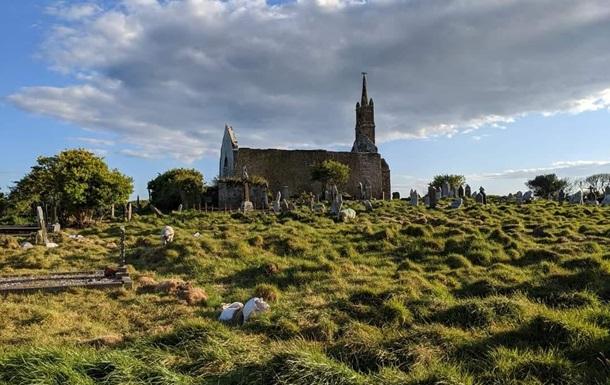 В Ирландии историки  наняли  на работу стадо овец