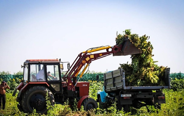 На Херсонщині знищили рекордний урожай конопель