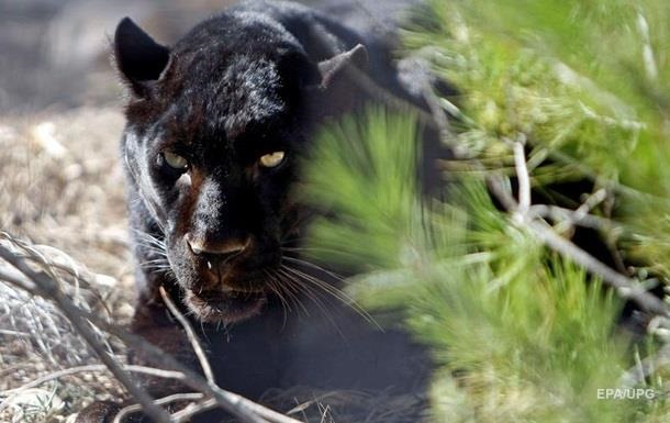 В зоопарке под Полтавой на мужчину напала пантера