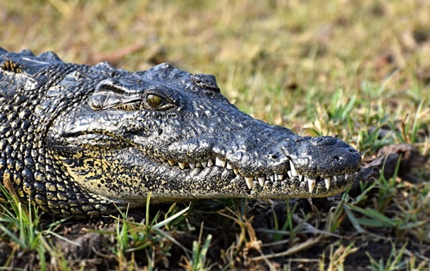 На Арабатской Стрелке обнаружили крокодила