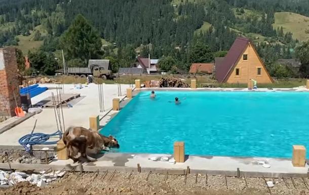 У Карпатах корова скупалася в басейні