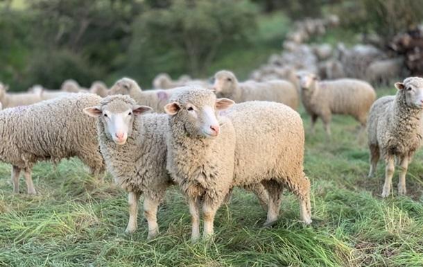 Стадо овець загинуло під час удару блискавки