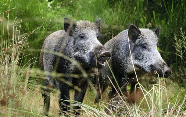 На Черкащині дикі свині тероризують село