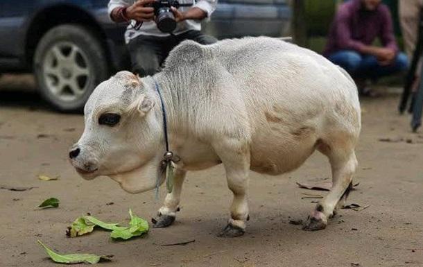 У Бангладеш померла найменша корова у світі
