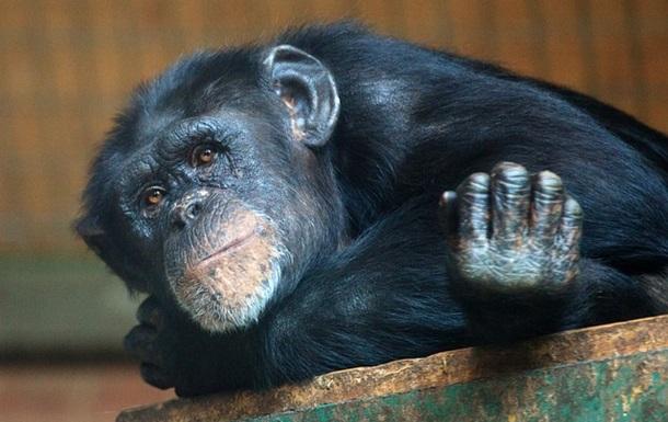 Бельгийке запретили посещать зоопарк из-за  дружбы  с шимпанзе
