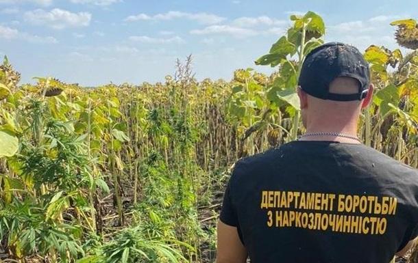 В Днепропетровской области на поле подсолнухов нашли коноплю