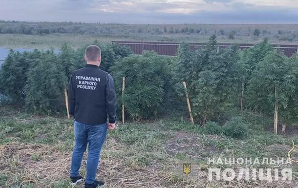 Под Одессой ликвидировали плантацию конопли