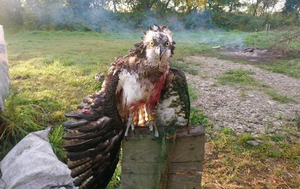 На Прикарпатье подстрелили краснокнижную птицу