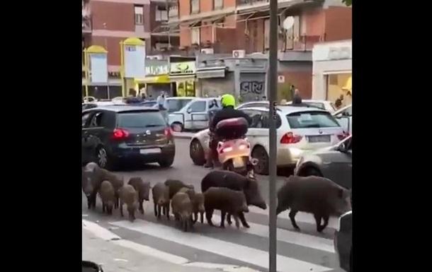 Мешканці Рима страждають від диких кабанів на вулицях