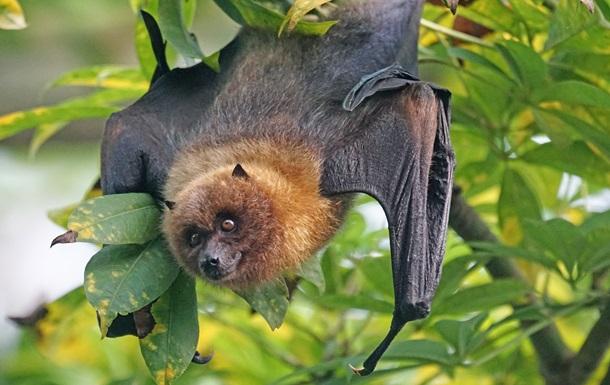 В організмах кажанів знайдені віруси, майже ідентичні SARS-CoV-2