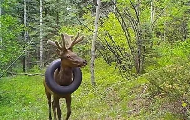 В США олень два года носил покрышку на шее