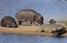 У ПАР бегемоти пронесли птахів повз крокодилів