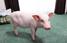 Женщина вела блог о своей свинье, а потом ее съела